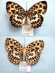 Timelaea albescens