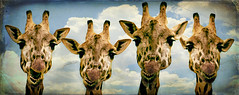 a coupla giraffe buddies trying to keep a straight face (alan shapiro photography) Tags: sky smile zoo group giraffe groupportrait portarit muggingforthecamera colorphotoaward naturewatcher photographersgonewild 2010alanshapiro alanshapirophotography wwwalanwshapiroblogspotcom 2010alanshapirophotography