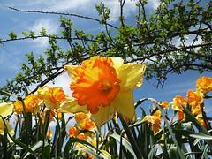 Yellow and Orange Daffodils (leafytreeful) Tags: flowers blue sky orange white flower green rose yellow clouds lexington kentucky vine arboretum daffodil lexingtonky daffodils universityofkentucky rosevines ukarboretum cmwd cmwdorange