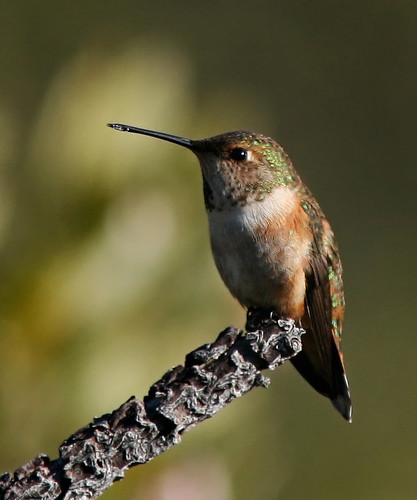 Rufous hummingbird (female)