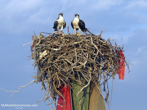 IMG_5602-Rookery-Bay-Osprey-nest