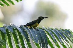 sunbird bathing towncommon 020509 03 (ed1944) Tags: birds townsville sunbird towncommon