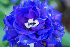 Blue flower 1 (hdavis506) Tags: flowers plants macro nature garden botanical nc flora charlotte belmont danielstowebotanicalgarden crazyaboutnature screamofthephotographer flowersorinsectsmacro