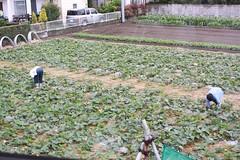 GW中の雨で畑やポタジェが大変なことに…野菜ガーデニング 8