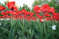 Memories of Summer: Tulip Bed, Toronto (Tony Lea) Tags: flowers red white toronto ontario canada flower green tower beautiful dutch cn canon lens rebel bed pretty angle tulips low wide perspective sigma wideangle tony tulip lea anthony bulbs mm 1020mm 1020 2009 xti tonylea anthonylea