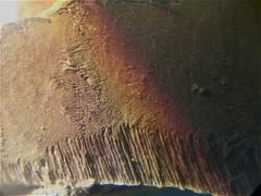 Fungi: Polyporaceae - orelha de pau com himênios nos poros ((biophotos)) Tags: macro fungi fungus slides biology microbiology microscopy basidiomycota biologia ascomycota fungo fungos lâminas gasteromycetes microbiologia