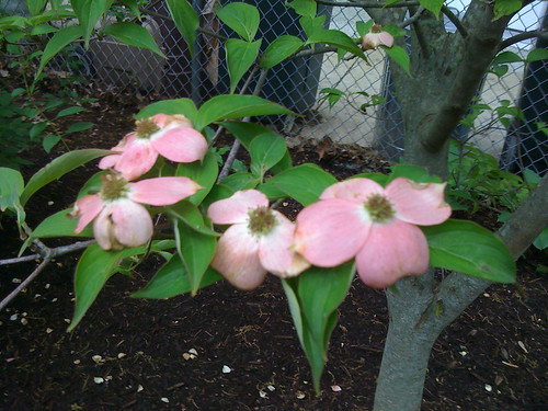 Close up of new dogwood in side yard
