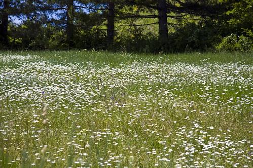 Daisy meadow #1