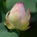 湖西蓮花池 thumbnail