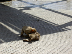20070518 Gibraltar: monkeys playing