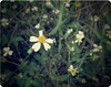 (Syka Lê Vy) Tags: flowers blue white wall vietnam vy daisy dreamer 2009 sleepwalker lê fridayiminlove syka vắng fromsykawithlove sykalevy lehoangvy sundayspirit