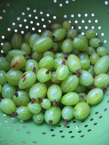 Gooseberries from the Allotment