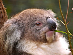 DO YOU MIND?? I AM EATING! (ianmichaelthomas) Tags: friends australia healesville healesvillesanctuary victoria koala marsupials koalas smorgasbord australiannativeanimals wildandfree animaladdiction goldenmix naturewatching auselite naturewatcher wonderfulworldmix warrandytevictoriaaustralia healesvillevictoriaaustralia naturewatcher ianthomas australiannativemarsupials qualitypixels ilovemypics