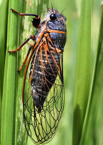 Circada / June Bug