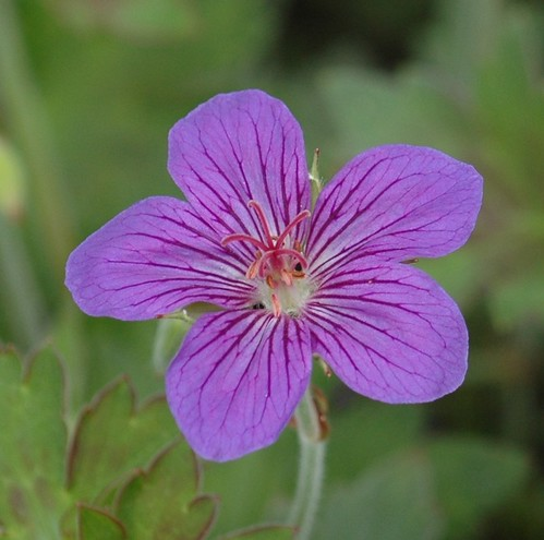 G. wlassovianum 'Blue Star' 01 (D. Evrard)