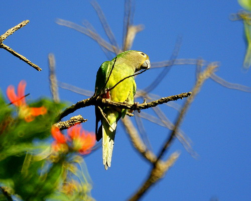 Perico carasucia [Brown-throated Parakeet] (Aratinga pertinax venezuelae) by barloventomagico.