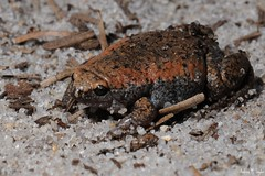 Eastern Narrowmouth toad (Andrew Snyder Photography) Tags: andrew frog m toad rare snyder herp narrowmouth gastrophryne gastrophrynecarolinensis narrowmouthed andrewsnyder nafha asnyder5 narrowmouthedtoad