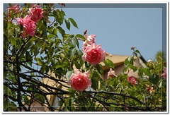 rose rosa (Sirbonetta) Tags: rose sardinia cagliari 2061 roseira sefisio