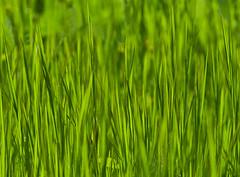 grass (kyramas) Tags: green nature grass pentax greece k7 ioannina sigma1770