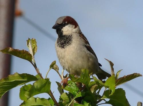 12462 - House Sparrow