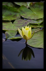 .... (Zopidis Lefteris) Tags: flowers flower nature water waterlily hellas greece macedonia thessaloniki allrightsreserved   lefteris    zop     zopidis            photographerzopidislefteris  photographerzopidislefterisc c  allphotosarecopyrightedbyzopidislefteris  copyright