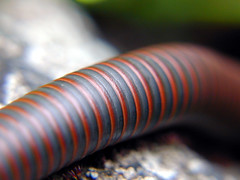 millipede (yakfur) Tags: pink red orange brown black grey virginia spring unitedstates gray large bands northamerica millipede humid 2010 banded greatfallspark fairfaxcounty narceusamericanus myriapoda diplopoda rainandsun narceus 4hourhike inthe70s narceusamericanusannularis narceusannularis northamericangiantmillipede spirobolida spirobolidae yakfur hikewithed narceusamericanusannularisspeciescomplex juliform