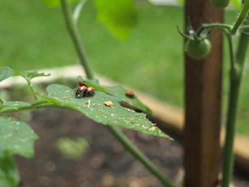 ladybug behavior