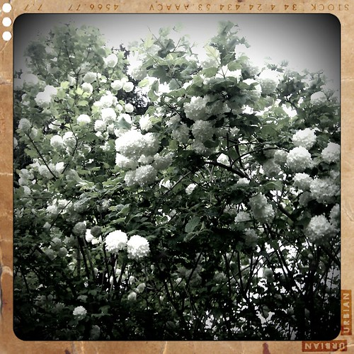 Popcorn Popping on the Apricot Tree