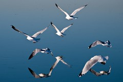 Reflected gulls in flight (Images by John 'K') Tags: california reflections sunnyvale moving gulls january photoaday wetlands 2009 visualart potofgold johnk d40x top25blue johnkrzesinski randomok