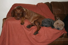 Peace at last....:-) (Woody Worth) Tags: dog cute puppy pointer woody vizsla explore enzo elaine worth doggy pup kev visla alfie hungarian hungarianvizsla whitwick bluesharpei 14thjanuary2009 isabelladilutesharpei 52weeksofwoodyweek3 52weeksofwoody