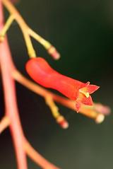 Palicourea crocea