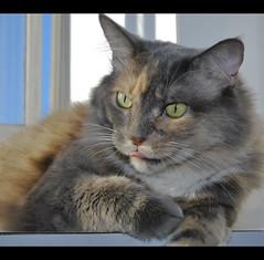 Elsa in the morning (LinoPhilippe) Tags: chile santiago cats nikon kitten feline chat kitty gatos gato felino katze nikkor gatto katzen matou chatte chaton hauskatze felidi 1855mmf3556gvr