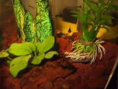Lots of Guppies (cin_kong) Tags: aquarium guppy livebearer