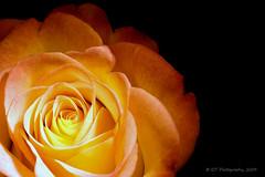 Bloom on Fire (ICT_photo) Tags: orange macro rose studio fire guelph sb600 petal bloom tamron90 ictphoto ianthomasphotography ianthomasguelphontario