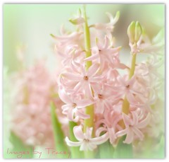 Pink Hyenas* (Tracey Tilson Photography) Tags: pink flower nature wednesday 50mm march nc nikon blossom bokeh pastel cluster north rebekah carolina bloom 2009 hyena picnik hyacinths d90 niftyfifty pinkhyena