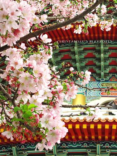 天元宮櫻花36