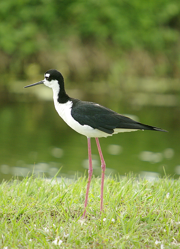 Black- Necked Stilt