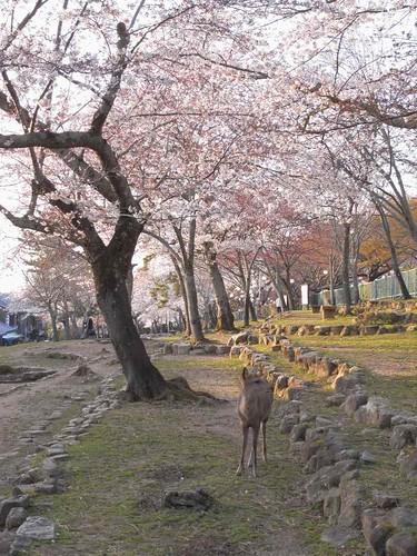 09-04-05【桜】@若草山-02