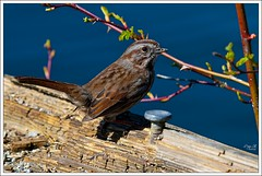 Little Brown Bird! (Free 2 Be) Tags: brown bird d300 15challengeswinner beautifulworldchallenges