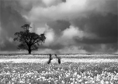 Tree in a field of oil-seed rape (louisahennessysuou) Tags: blackandwhite tree monochrome clouds rape explore lone essex lonetree oilseed oilseedrape flickrexplore explored rettendon siyahvebeyaz rettendonarea artistictreasurechest