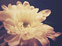 ~ (jawhara almajhad) Tags: flower rose tone furat