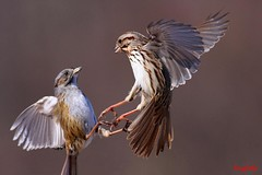 Swamp Sparrow Vs Song Sparrow (tinyfishy (Gone to Cuba)) Tags: ontario canada bird flying inflight song sparrow swamp whitby fighting