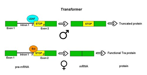 Alternative Splicing of Drosophila Tra