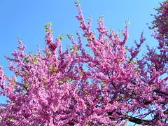PRIMAVERA (cannuccia) Tags: pink trees alberi rosa paesaggi flowersarebeautiful concordians mmmilikeit