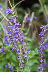 Armand Bayou - Wildflower (Salvia)
