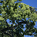 Thick - Weeping Wych Elm