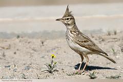 (Hamad Al-meer) Tags: flower bird birds canon eos kuwait hamad 30d  almeer colorphotoaward  hamadhd hamadhdcom wwwhamadhdcom grouptripod