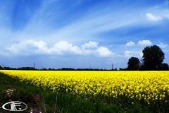 Son belli ...ma sempre Broccoli sono (Marco Foti) Tags: camp yellow country saturday olympus broccoli fisheye campagna giallo campo 43 sabato e330 stuppao marcofoti