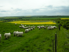 Sheep on Whitehorse Hill