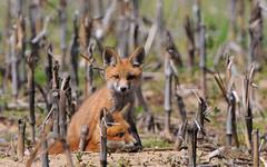 Fox Kits (Nikographer [Jon]) Tags: animal animals lenstagged cornfield nikon may kits foxes 2009 redfox vulpesvulpes d300 vulpes foxkit 200400mm nikond300 200400mmf4vr ed200400mmf4gifvr imagesforblog1 20090510d30061817 2009fav1 wsop1